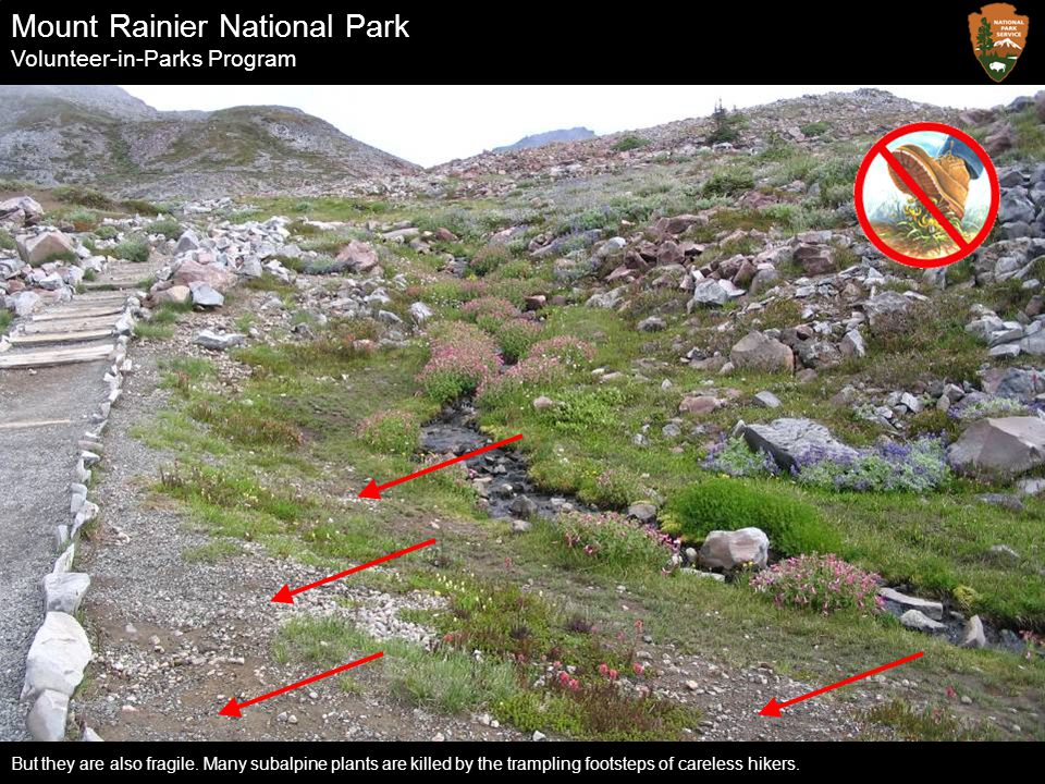 Mount Rainier National Park Volunteer-in-Parks Program But they are also fragile. Many subalpine plants are killed by the trampling footsteps of carel