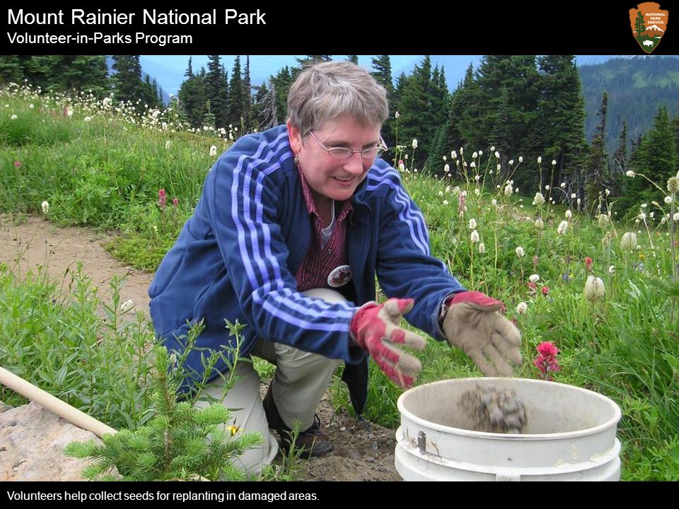 Mount Rainier National Park Volunteer-in-Parks Program Volunteers help collect seeds for replanting in damaged areas.