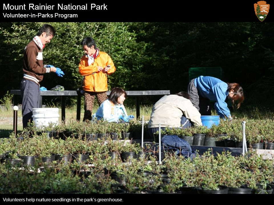 Mount Rainier National Park Volunteer-in-Parks Program Volunteers help nurture seedlings in the park's greenhouse.