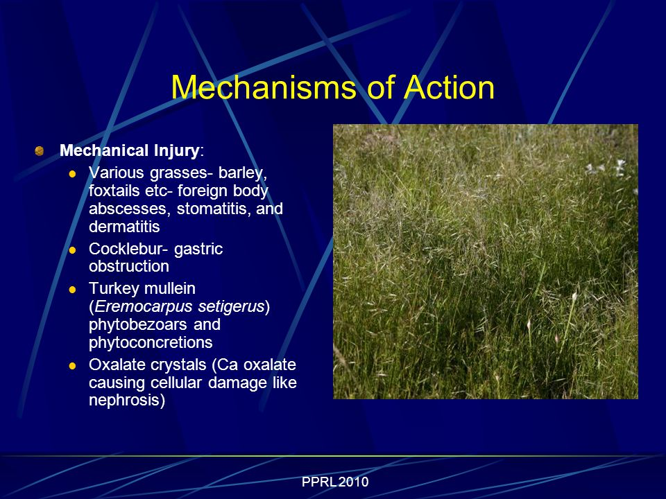 PPRL 2010 Mechanisms of Action Mechanical Injury: Various grasses- barley, foxtails etc- foreign body abscesses, stomatitis, and dermatitis Cocklebur- gastric obstruction Turkey mullein (Eremocarpus setigerus) phytobezoars and phytoconcretions Oxalate crystals (Ca oxalate causing cellular damage like nephrosis)