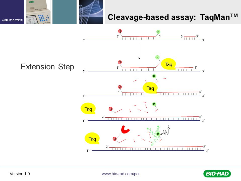 www.bio-rad.com/pcr AMPLIFICATION Version 1.0 5' 3' 5' 3' 5' 3' R Q 5' 3' Taq 3' QR 5' 3' Q Taq R 5' 3' Q Taq R 3' 5' Extension Step 5' 3' Q Taq R 5' Cleavage-based assay: TaqMan TM