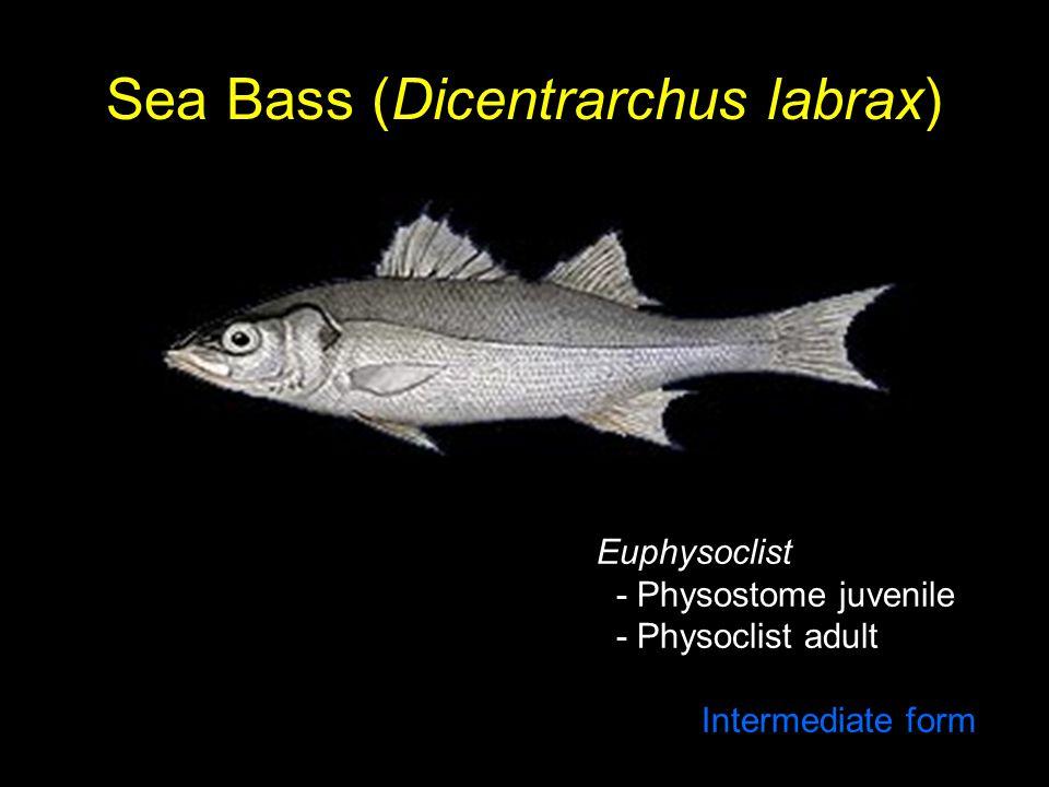 Sea Bass (Dicentrarchus labrax) Euphysoclist - Physostome juvenile - Physoclist adult Intermediate form