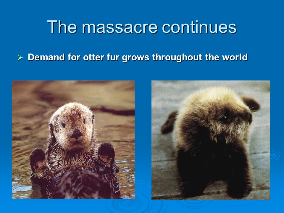 The massacre continues  Demand for otter fur grows throughout the world