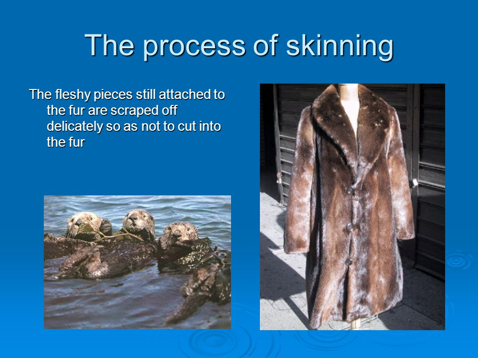 The process of skinning The fleshy pieces still attached to the fur are scraped off delicately so as not to cut into the fur
