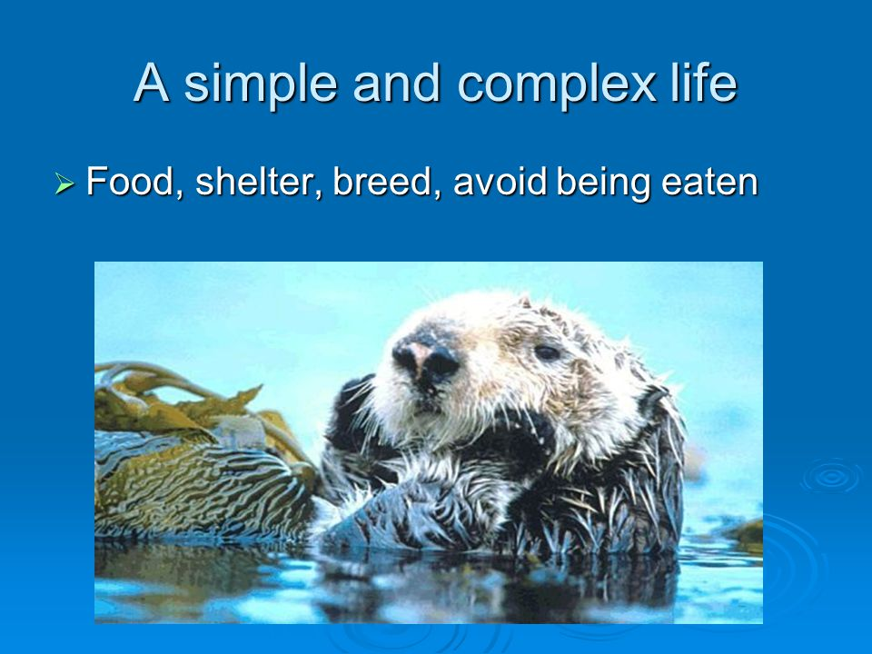Sea otters eat a lot of meat