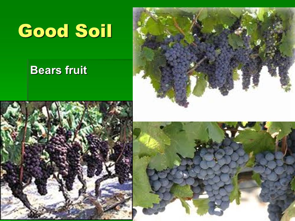 Good Soil Bears fruit