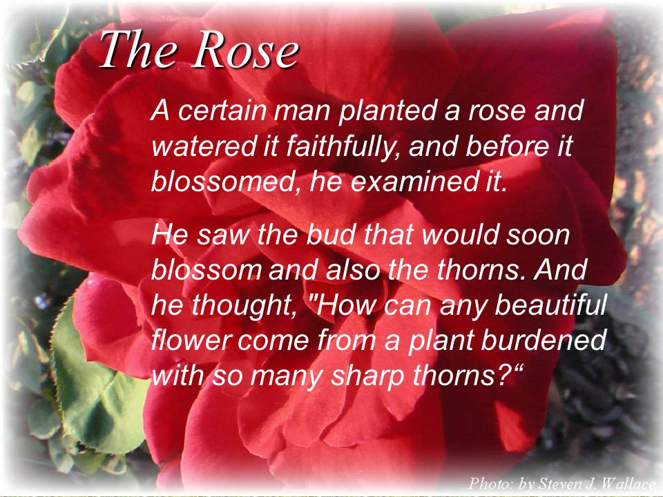 The Rose A certain man planted a rose and watered it faithfully, and before it blossomed, he examined it.