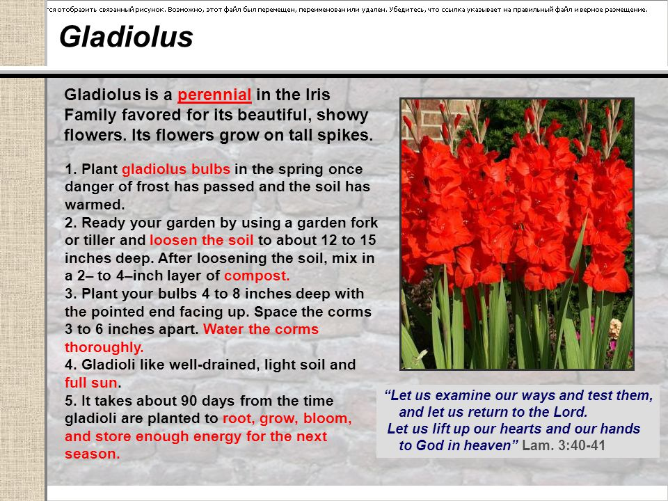 Gladiolus Gladiolus is a perennial in the Iris Family favored for its beautiful, showy flowers.