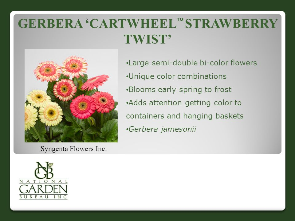 GERBERA 'CARTWHEEL  STRAWBERRY TWIST' Syngenta Flowers Inc.