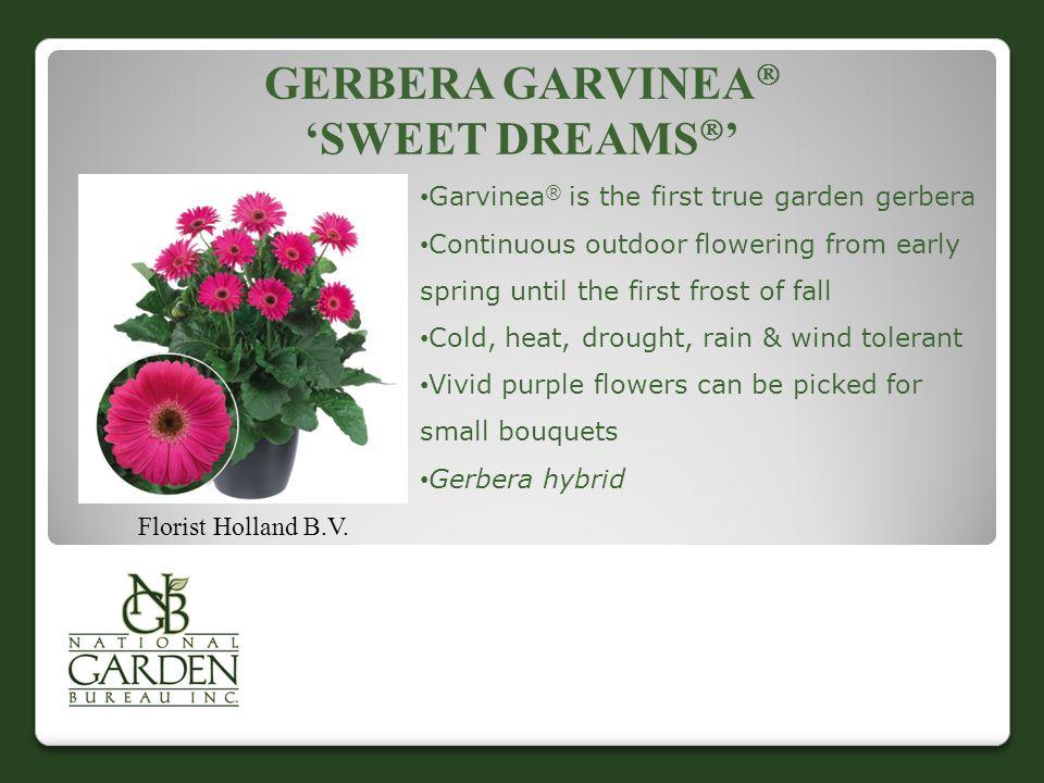 GERBERA GARVINEA  'SWEET DREAMS  ' Florist Holland B.V.