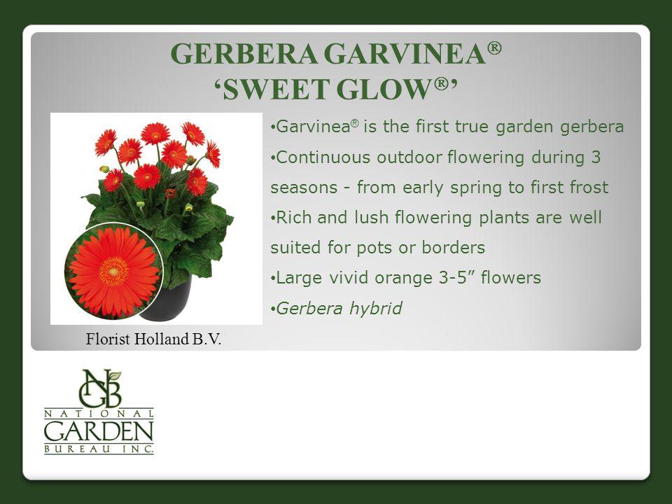 GERBERA GARVINEA  'SWEET GLOW  ' Florist Holland B.V.