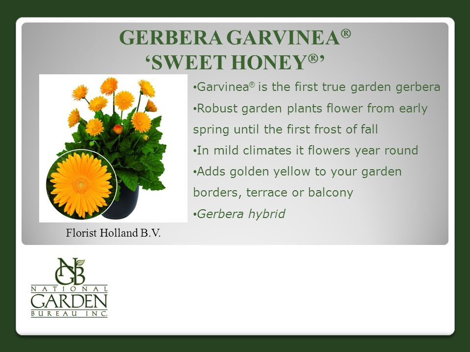 GERBERA GARVINEA  'SWEET HONEY  ' Florist Holland B.V.