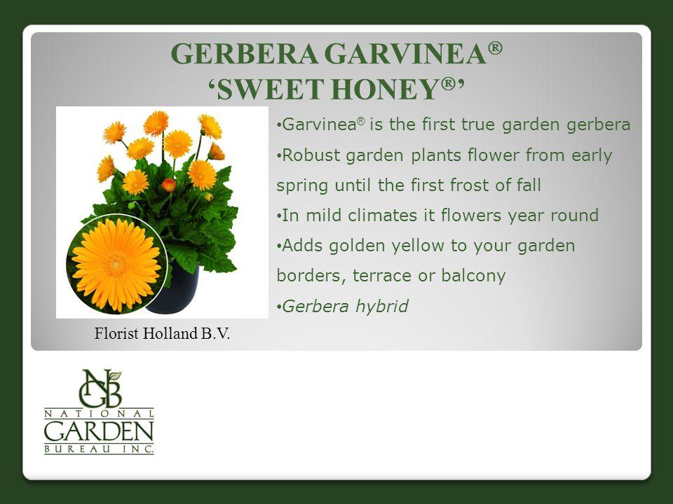 GERBERA GARVINEA  'SWEET HONEY  ' Florist Holland B.V.