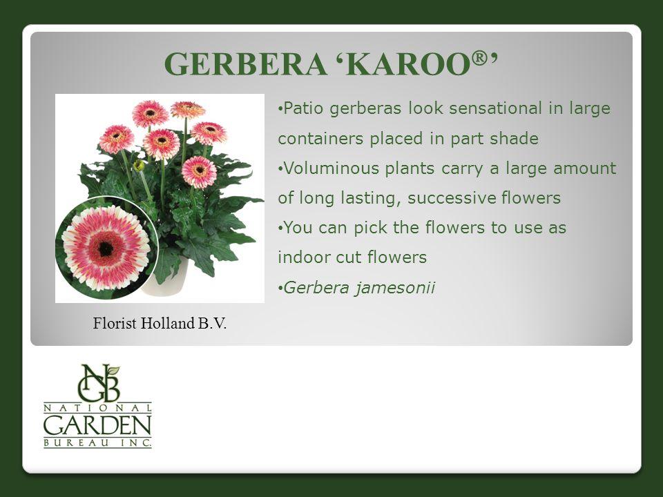 GERBERA 'KAROO  ' Florist Holland B.V.