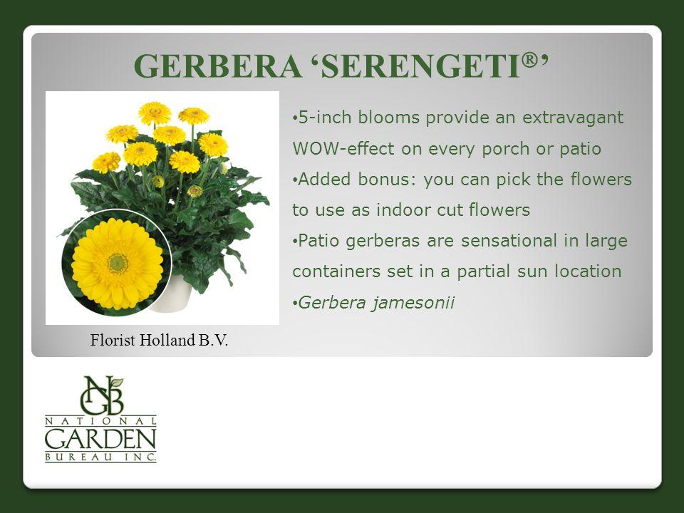 GERBERA 'SERENGETI  ' Florist Holland B.V.