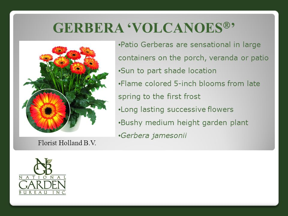 GERBERA 'VOLCANOES  ' Florist Holland B.V. Patio Gerberas are sensational in large containers on the porch, veranda or patio Sun to part shade locati