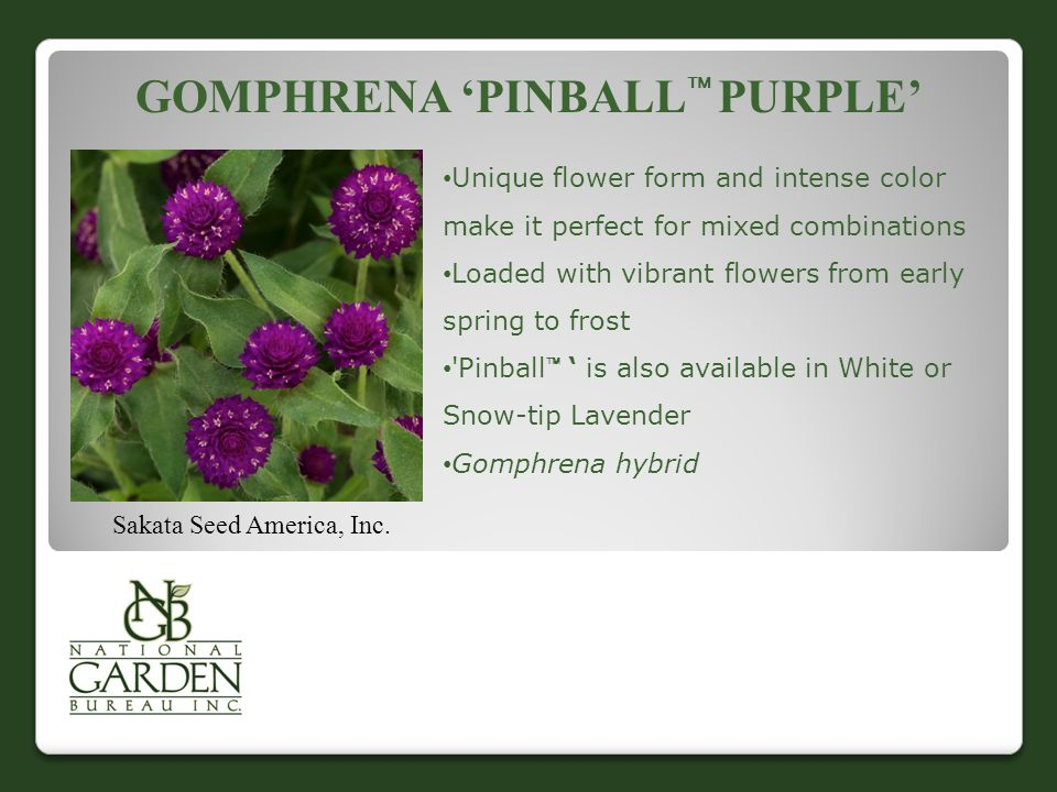 GOMPHRENA 'PINBALL  PURPLE' Sakata Seed America, Inc. Unique flower form and intense color make it perfect for mixed combinations Loaded with vibrant