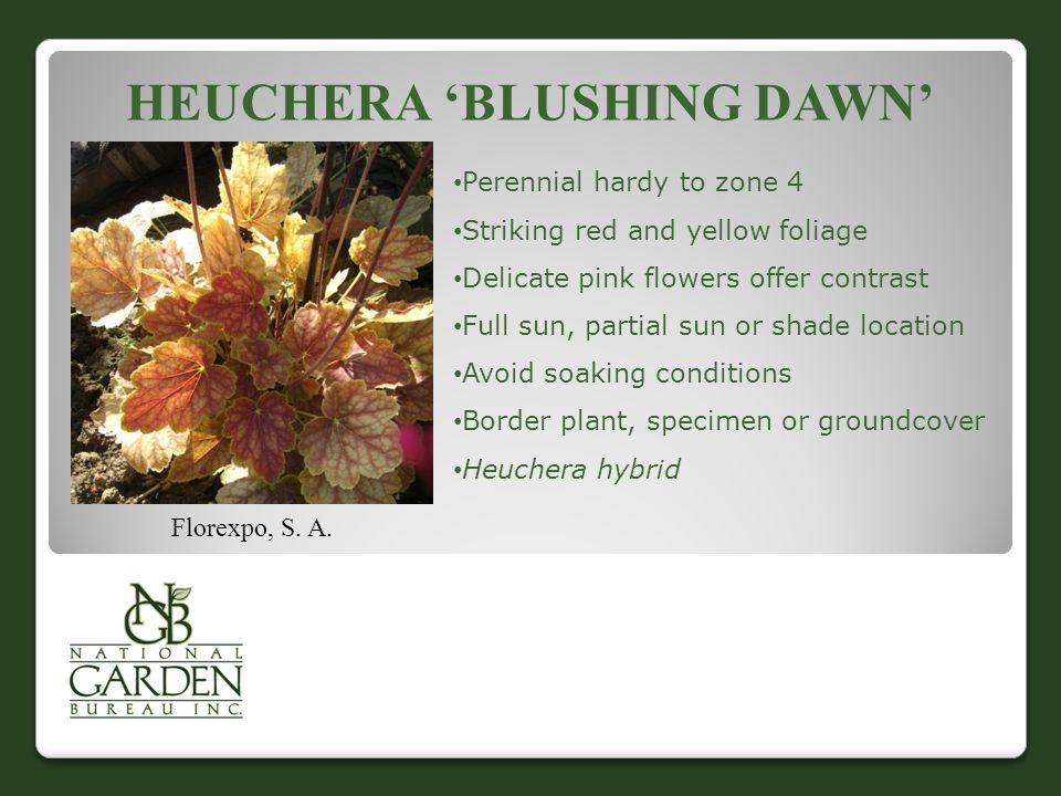 HEUCHERA 'BLUSHING DAWN' Florexpo, S. A.