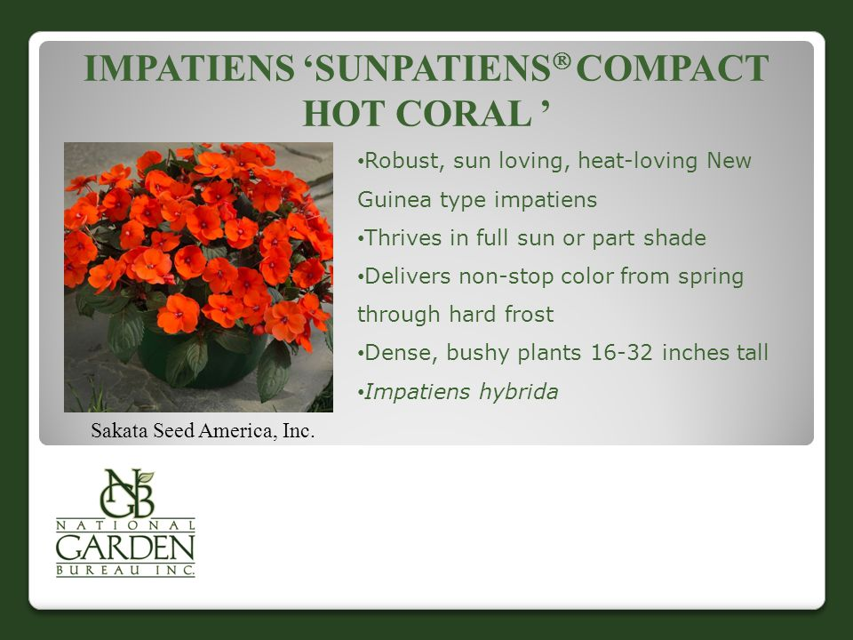 IMPATIENS 'SUNPATIENS  COMPACT HOT CORAL ' Sakata Seed America, Inc. Robust, sun loving, heat-loving New Guinea type impatiens Thrives in full sun or