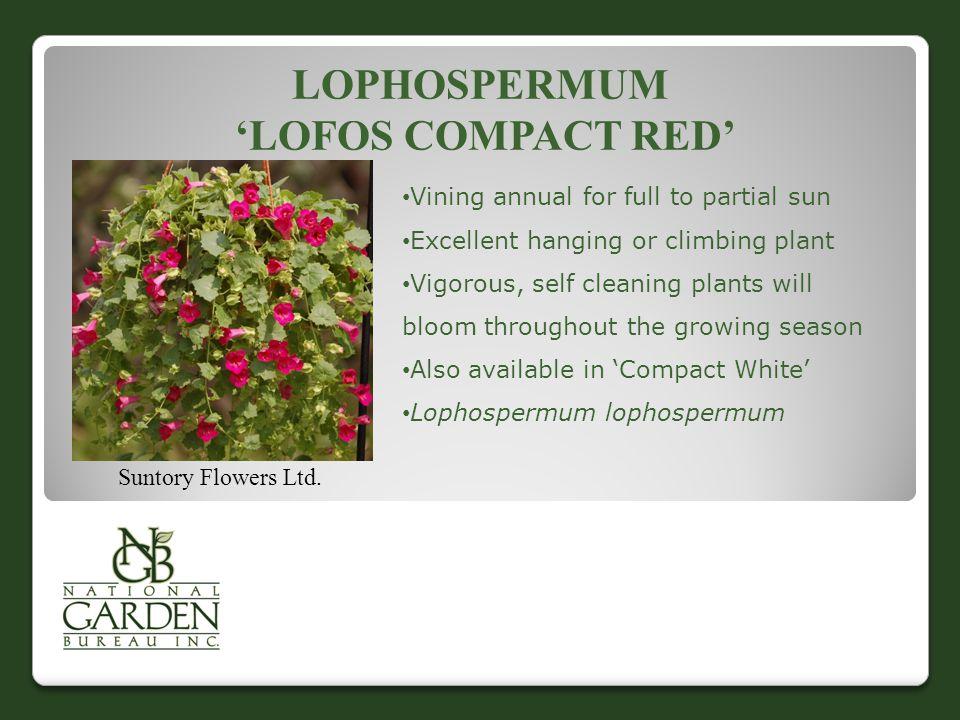 LOPHOSPERMUM 'LOFOS COMPACT RED' Suntory Flowers Ltd.