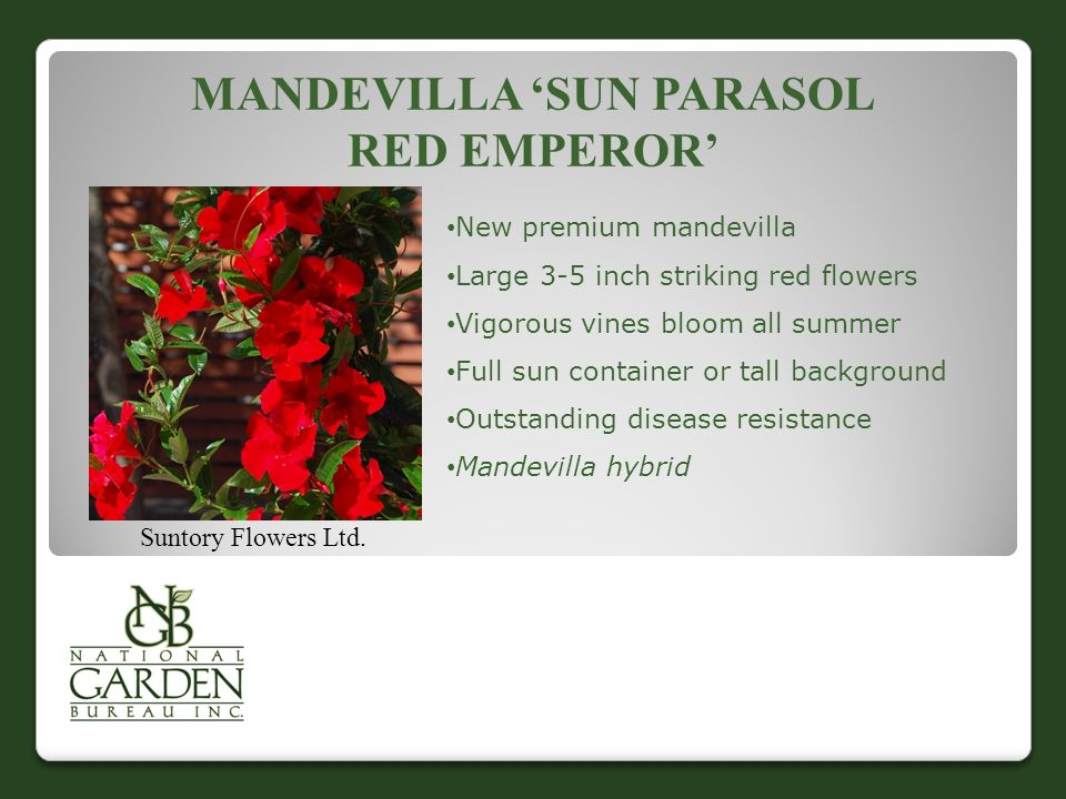 MANDEVILLA 'SUN PARASOL RED EMPEROR' Suntory Flowers Ltd. New premium mandevilla Large 3-5 inch striking red flowers Vigorous vines bloom all summer F