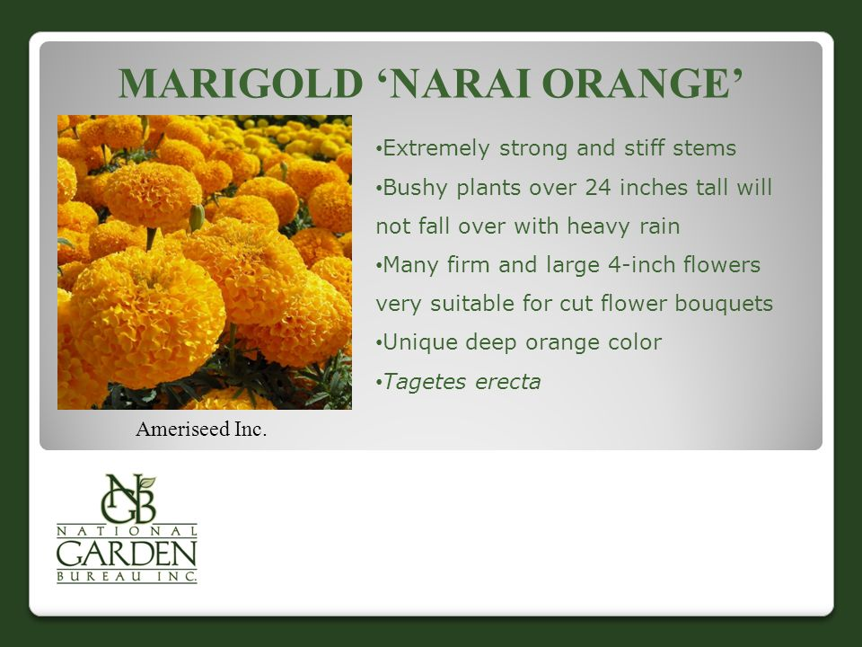 MARIGOLD 'NARAI ORANGE' Ameriseed Inc. Extremely strong and stiff stems Bushy plants over 24 inches tall will not fall over with heavy rain Many firm