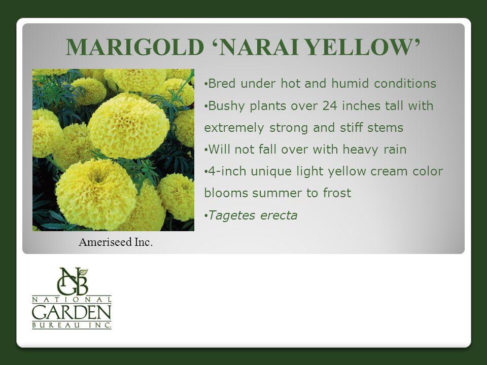 MARIGOLD 'NARAI YELLOW' Ameriseed Inc.