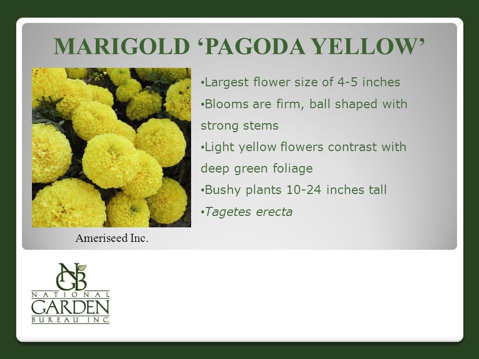MARIGOLD 'PAGODA YELLOW' Ameriseed Inc.