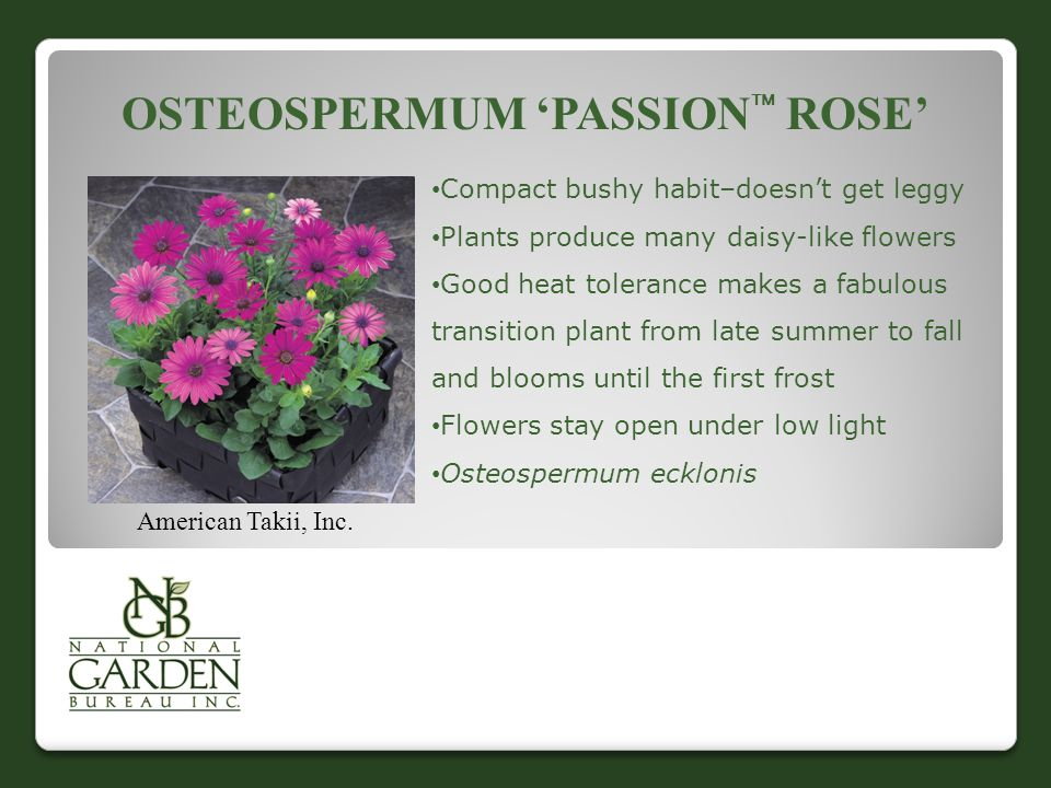 OSTEOSPERMUM 'PASSION  ROSE' American Takii, Inc. Compact bushy habit–doesn't get leggy Plants produce many daisy-like flowers Good heat tolerance ma