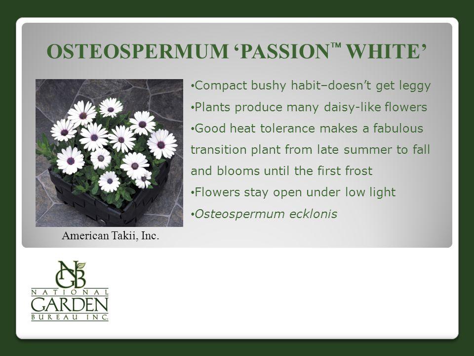 OSTEOSPERMUM 'PASSION  WHITE' American Takii, Inc.
