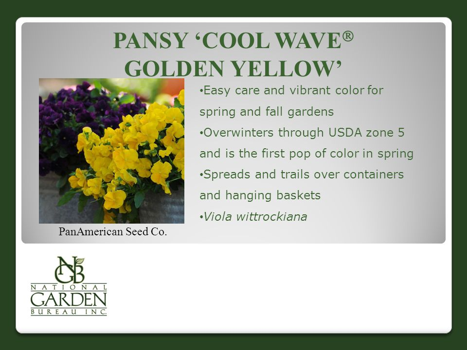 PANSY 'COOL WAVE  GOLDEN YELLOW' PanAmerican Seed Co. Easy care and vibrant color for spring and fall gardens Overwinters through USDA zone 5 and is