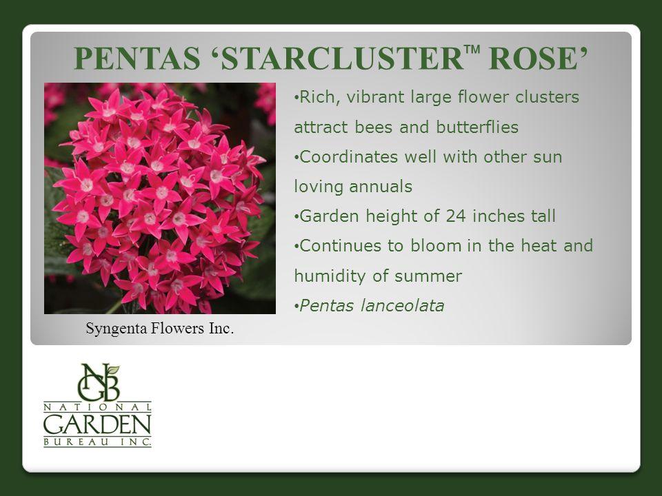 PENTAS 'STARCLUSTER  ROSE' Syngenta Flowers Inc.