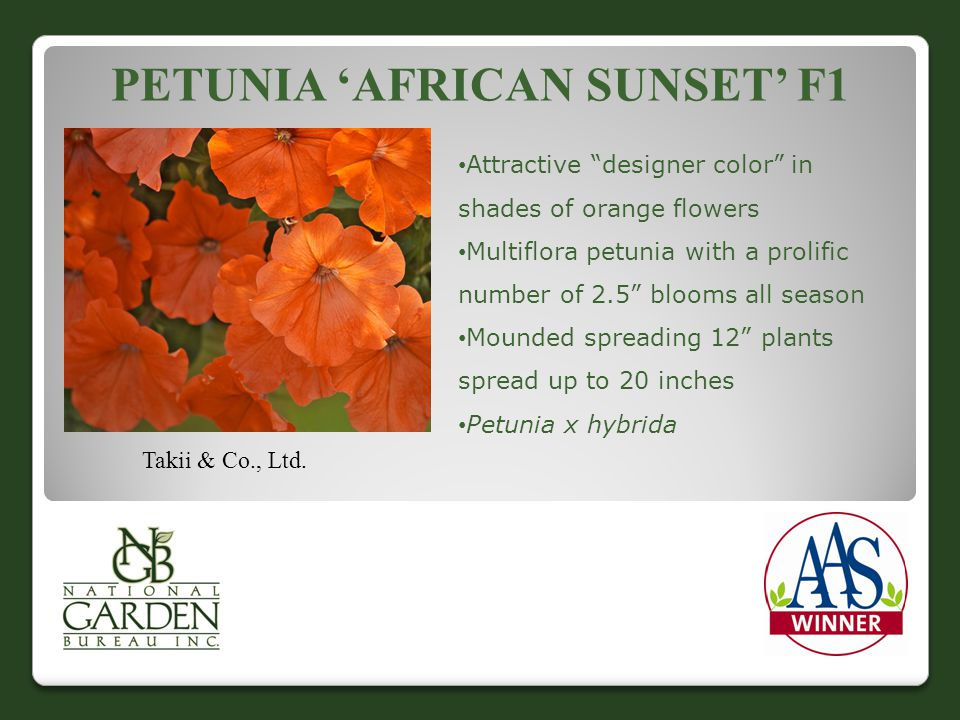 "PETUNIA 'AFRICAN SUNSET' F1 Takii & Co., Ltd. Attractive ""designer color"" in shades of orange flowers Multiflora petunia with a prolific number of 2.5"