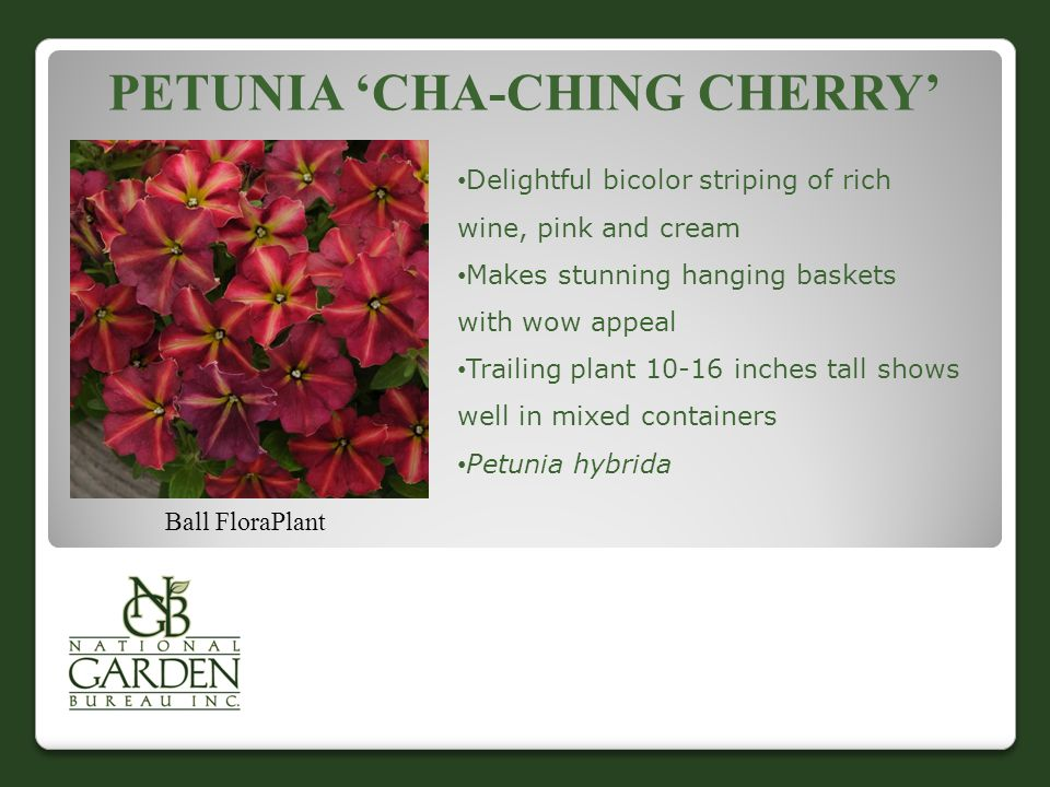 PETUNIA 'CHA-CHING CHERRY' Ball FloraPlant Delightful bicolor striping of rich wine, pink and cream Makes stunning hanging baskets with wow appeal Tra