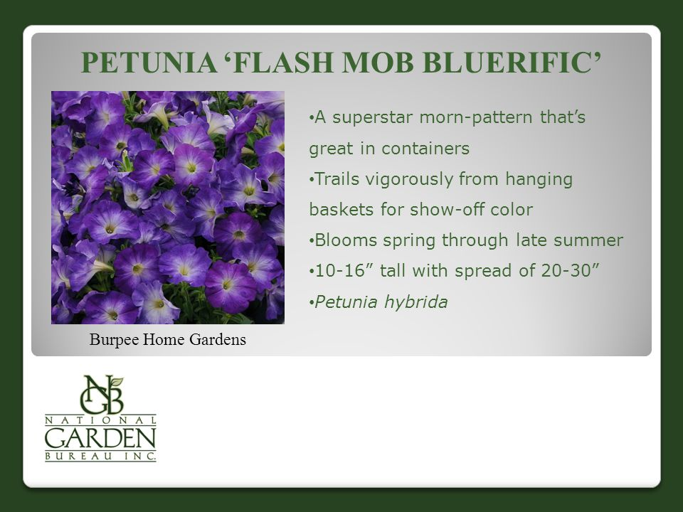 PETUNIA 'FLASH MOB BLUERIFIC' Burpee Home Gardens A superstar morn-pattern that's great in containers Trails vigorously from hanging baskets for show-off color Blooms spring through late summer 10-16 tall with spread of 20-30 Petunia hybrida