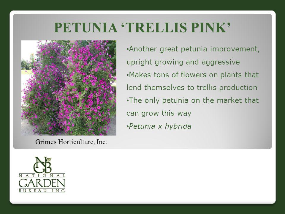 PETUNIA 'TRELLIS PINK' Grimes Horticulture, Inc.