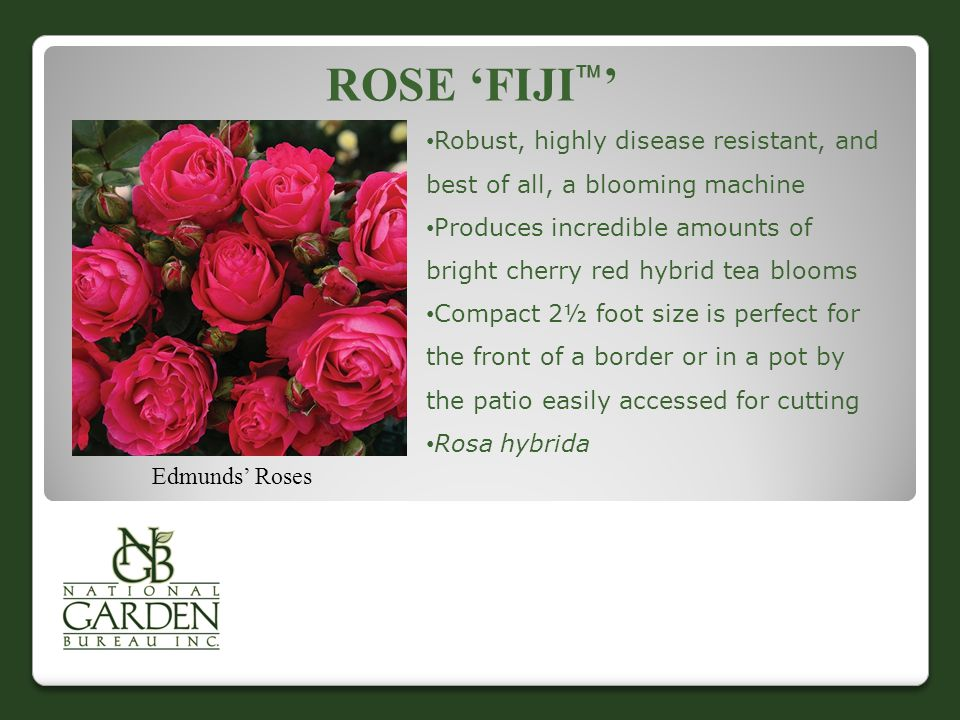 ROSE 'FIJI  ' Edmunds' Roses Robust, highly disease resistant, and best of all, a blooming machine Produces incredible amounts of bright cherry red hybrid tea blooms Compact 2½ foot size is perfect for the front of a border or in a pot by the patio easily accessed for cutting Rosa hybrida