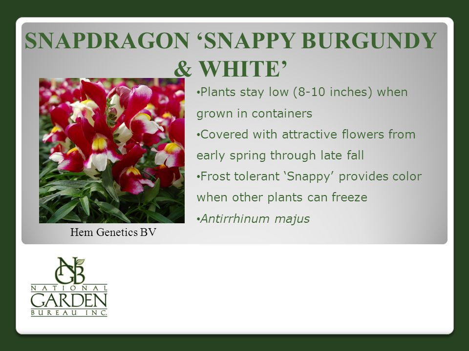 SNAPDRAGON 'SNAPPY BURGUNDY & WHITE' Hem Genetics BV Plants stay low (8-10 inches) when grown in containers Covered with attractive flowers from early spring through late fall Frost tolerant 'Snappy' provides color when other plants can freeze Antirrhinum majus