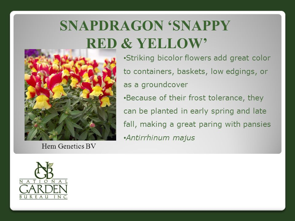 SNAPDRAGON 'SNAPPY RED & YELLOW' Hem Genetics BV Striking bicolor flowers add great color to containers, baskets, low edgings, or as a groundcover Because of their frost tolerance, they can be planted in early spring and late fall, making a great paring with pansies Antirrhinum majus