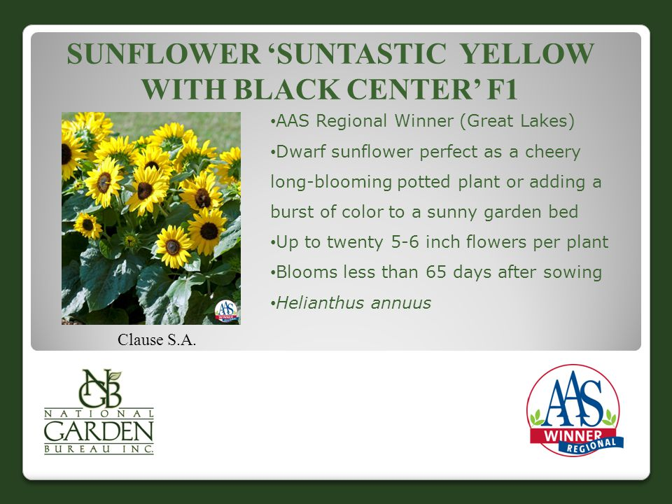 SUNFLOWER 'SUNTASTIC YELLOW WITH BLACK CENTER' F1 Clause S.A.