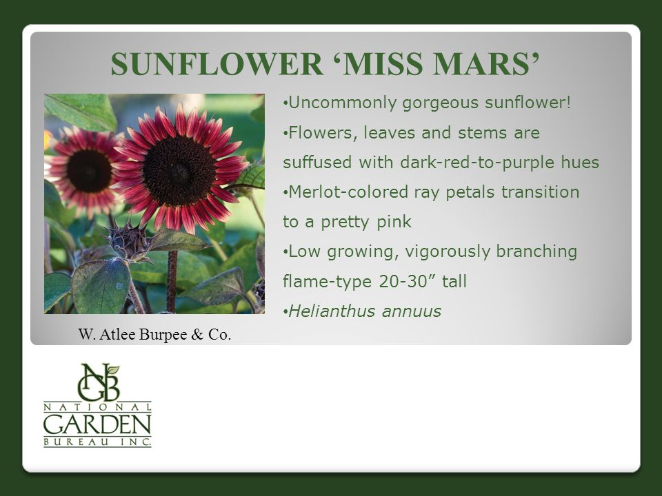 SUNFLOWER 'MISS MARS' W. Atlee Burpee & Co. Uncommonly gorgeous sunflower! Flowers, leaves and stems are suffused with dark-red-to-purple hues Merlot-