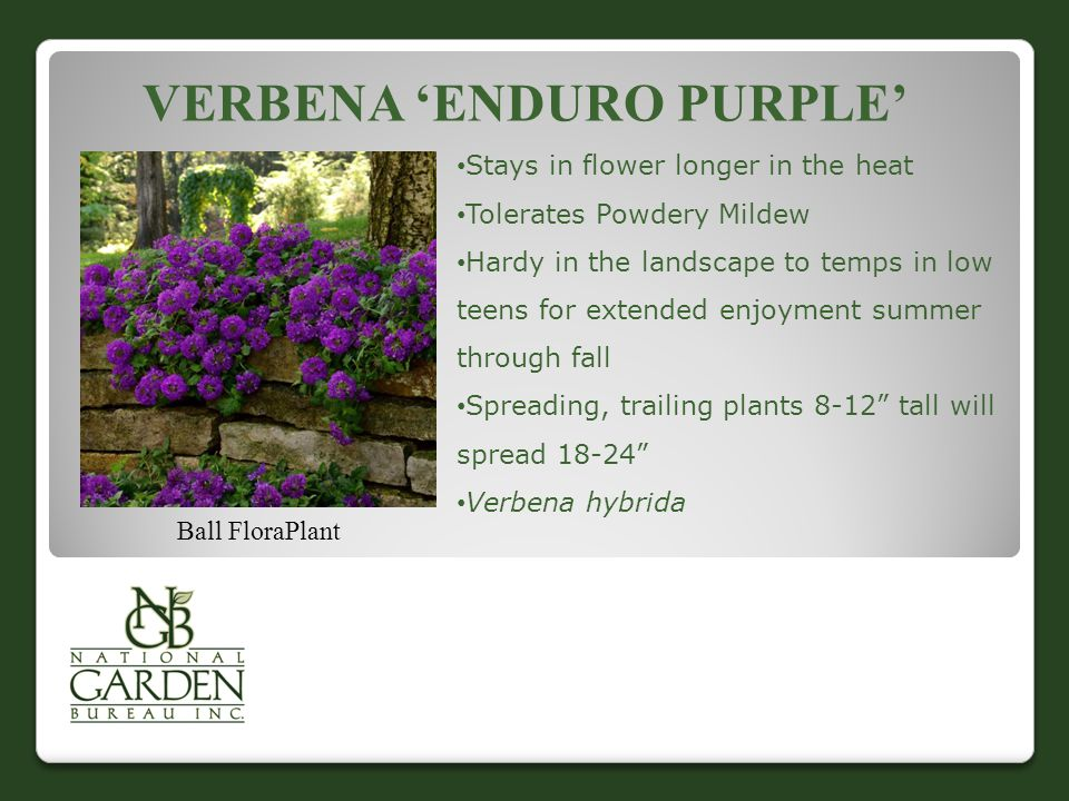 VERBENA 'ENDURO PURPLE' Ball FloraPlant Stays in flower longer in the heat Tolerates Powdery Mildew Hardy in the landscape to temps in low teens for extended enjoyment summer through fall Spreading, trailing plants 8-12 tall will spread 18-24 Verbena hybrida