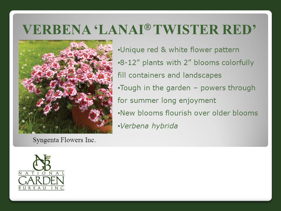 VERBENA 'LANAI  TWISTER RED' Syngenta Flowers Inc.