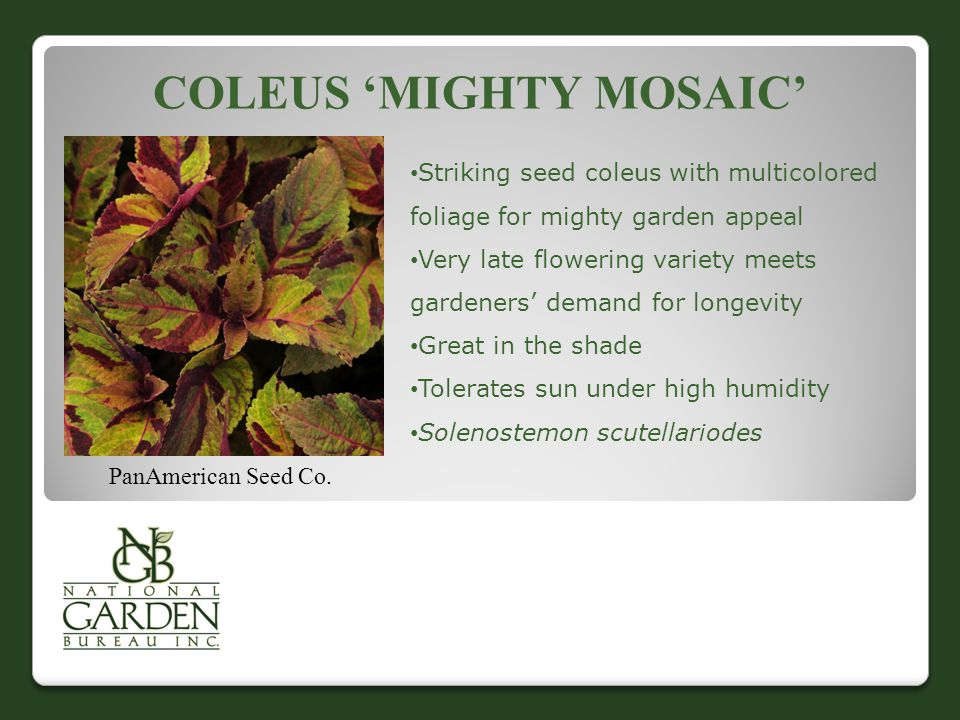COLEUS 'MIGHTY MOSAIC' PanAmerican Seed Co.
