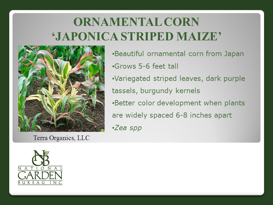 ORNAMENTAL CORN 'JAPONICA STRIPED MAIZE' Terra Organics, LLC Beautiful ornamental corn from Japan Grows 5-6 feet tall Variegated striped leaves, dark purple tassels, burgundy kernels Better color development when plants are widely spaced 6-8 inches apart Zea spp