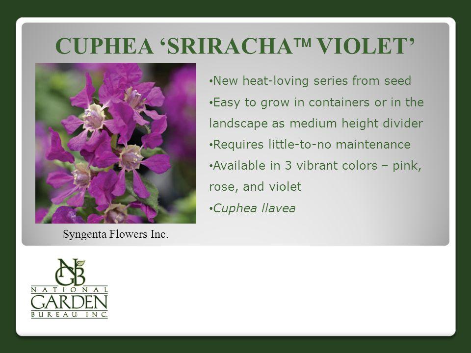 CUPHEA 'SRIRACHA  VIOLET' Syngenta Flowers Inc.