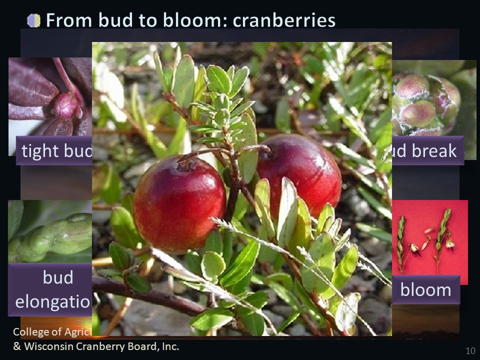 10 tight bud bud swell cabbagehead bud break bud elongation roughneck hook bloom College of Agriculture and Life Sciences & Wisconsin Cranberry Board,