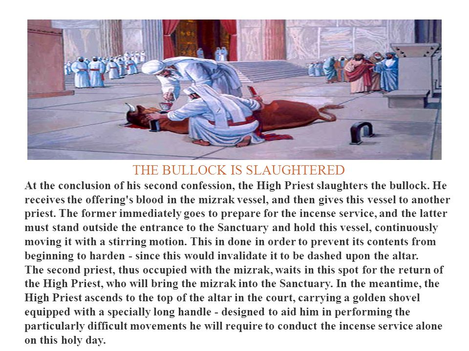 THE BULLOCK IS SLAUGHTERED At the conclusion of his second confession, the High Priest slaughters the bullock. He receives the offering's blood in the
