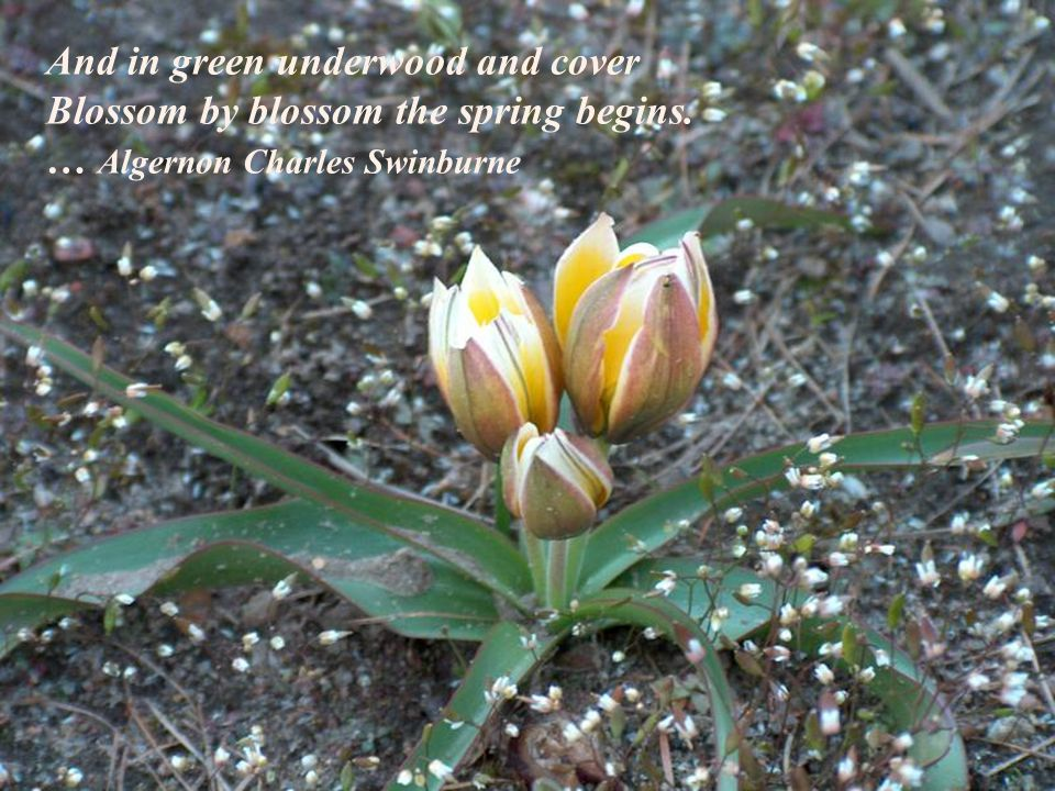 And in green underwood and cover Blossom by blossom the spring begins. … Algernon Charles Swinburne
