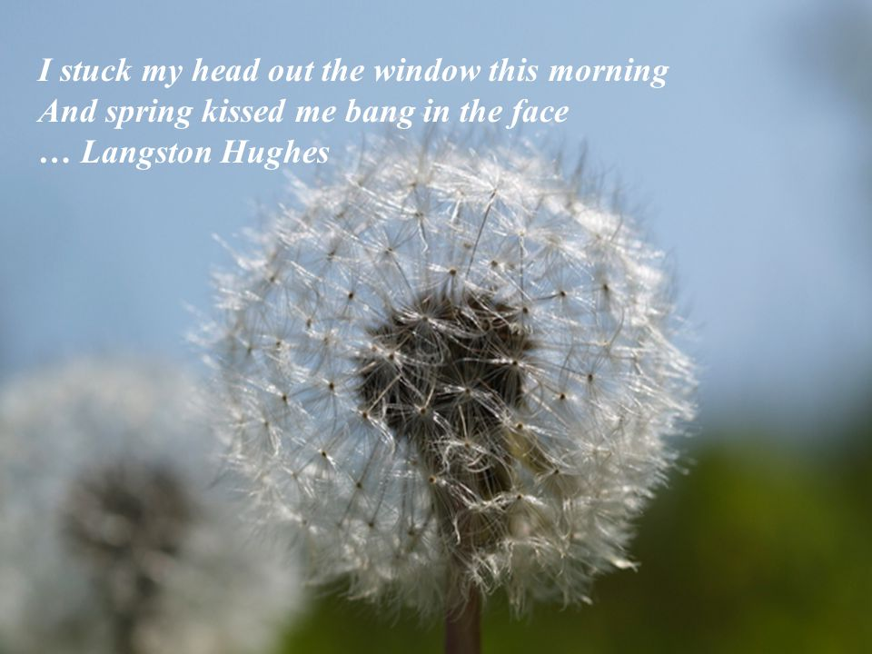 I stuck my head out the window this morning And spring kissed me bang in the face … Langston Hughes